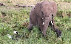 Elephant and Ibis Feeding. (welloutafocus) Tags: ibis kenya africa