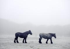 Morning Mist (tms\) Tags: horse cold morning fog mist netherlands nature castricum