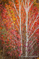 Colorful Tree (D L Waters) Tags: abstract autumn bark beautiful beauty branch calender colorful colors fall fallcolors foliage forestry leaf leaves light natural nature october outdoor plant scene scenery scenic season splendor stems sunlight tree trees trunk woods