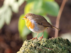 Rockin Robin (johnb/Derbys/UK) Tags: robin myworld elvastoncastlepark derbyshireuk wildlife bird