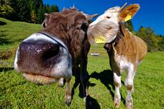 ich flüster Dir mal was.... (Stephi 2006) Tags: ofterschwang bayern deutschland cow