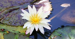 water lily (joybidge) Tags: trishcanada naturepatternscanada mauihawaii waterlilies