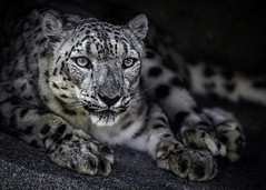 Snow Flower (Paul E.M.) Tags: leopard snow sdzoo feline cat spots