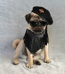 Boo Lefou 'Pugs of Anarchy' For Movember (DaPuglet) Tags: pug movember november moustache dog funny lol meme pets pugs dogs animal animals pet harleydavidson biker motorcycle gang sunglasses leather puppy coth5