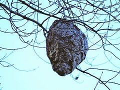 the home of Summers vicious pest, a hornets nest. (Lana Pahl / Country Star Images) Tags: nature natureforallfloraandfauna ilovenature flickrnature