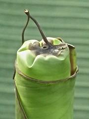Musa paradisiaca 3 (heinvanwinkel) Tags: 2013 banaan bloemvandedag commelinids euphyllophyta hortus leiden liliopsida magnoliophyta mesangiospermae musaxparadisiaca musaceae nederland oktober petrosaviidae spermatophyta tracheophyta zingiberales