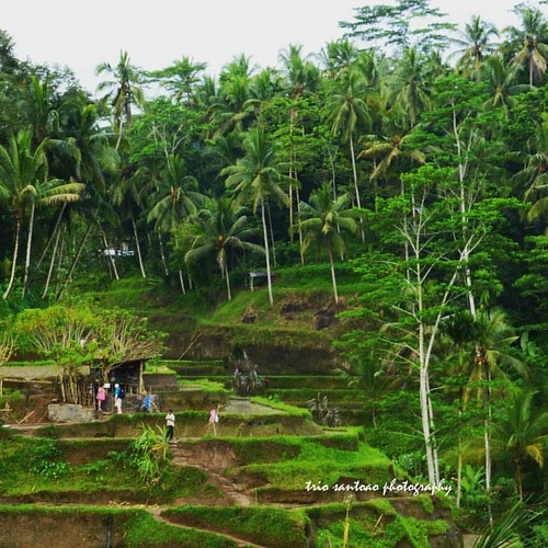 Ubud paddy field terrace, Bali #adventure #bali #beautiful #naturelover #nature #paddy #landscape #travel #instagram #instanusantara #wonderful_indonesia #pesonaindonesia #photooftheday