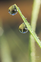 Morgentau, morning dew (Mirko Wolf) Tags: morgentau morningdew morning tropfen drop droplets drops