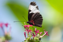 Hunawihr : le jardin aux papillons (Mike Y. Gyver) Tags: papillon butterfly jardin garden myg macro art alscace sigma105mmmacrof28exdgoshsm green 2016 hunawihr france flowers fleurs animal insect ngc