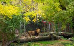 Stroll to the park : asiatic lion  (floriansins) Tags: olympus mzuiko1240mm zoo animal leaf autumn beautifulplace beautifulnature lion instagramapp