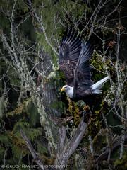 Skagit River Eagles-2 (Chuck Ramsey) Tags: birds eagle skagitriver washington