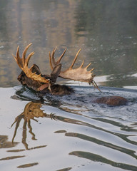 Bull Moose Swimming (Jeffrey Sullivan) Tags: moose swimming grand teton national park grandtetonnationalpark landscape nature travel photography wyoming unitedstates roadtrip usa canon photo copyright 2009 jeffsullivan september