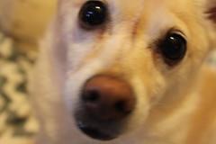 IMG_3271 (fschaub3) Tags: puppies puppy pets dogs yorkie shorkie pomchi