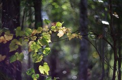 Scuppernong Light (bamboosage) Tags: helios 402 1585 preset m42 russia