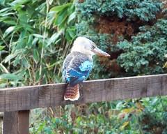 Kookaburra (SAMARA: Back home!) Tags: kookaburra dacelo