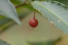 Christmas berry (shizen.shigen) Tags: マンリョウ 万両 ardisiacrenata 朱砂根 christmasberry australianholly coralardisia coralbush coralberry coralberrytree henseyes spiceberry
