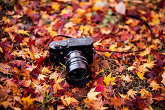 Strolling with F1.0 (moaan) Tags: kobe hyogo japan jp camera leicam noctilux50mmf10 autumnleaves autumncolors fallenleaves maple japanesemaple momiji bokeh dof utata 2016 canoneos5dsr zeissotus1455ze otus1455 gear