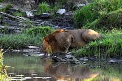 A big Male Lion takes a drink from a small stream in the Masai Mara, Kenya. (One more shot Rog) Tags: lions lion male pridemasai maramasao mara lionslionesssafaridrinksbig catsbig catdrinkingwaterholenaturewildliferoger sargent wildlife photographyone more shot rog wild africa kenya