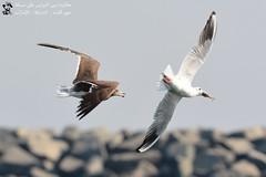 Gulls chasing for fish (Ma3eN) Tags: gull sooty common bird flight chasing fish uae khorkalba sharjah