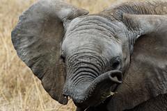 Elephant calf (Nicolas Bousquet) Tags: elephant calf elephantcalf elephanteau serengeti tanzania tanzanie safari gamedrive savane savannah