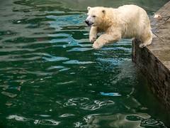 Going for a swim... (802701) Tags:  novosibirsk novosibirskzoo polarbear polarbearcub zoo nature wildlife