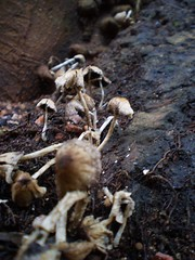 fungos. fungus (leovigildo Santos) Tags: fungus fungi myology decomposers decomposing mushrooms nature natureza natural naturaleza savannah cerrado gois tropical rainforest fungos