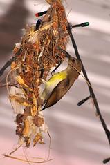 The Nest builder2 (Rajib Singha) Tags: india bird nature searchthebest westbengal hooghly 8interestingness flickriver nikond300 femalepurplerumpedsunbird sheoraphuli