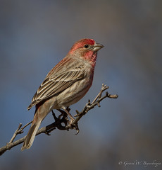 House Finch (Turk Images) Tags: arizona birds housefinch fringillidae carpodacusmexicanus hofi specanimal elitephotography cavecreekranch birdperfect