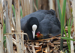 Coot with chicks 2012 A.Dancy CR 117a (Adrian Dancy) Tags: bird waterbird chicks coot fulicaatra eurasioncoot