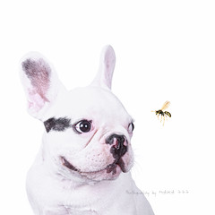 COCO, the wasp and his... watchful eye (MAIKA 777) Tags: dog chien pet puppy flickr vespa wasp naturallight perro whitebackground coco cachorro frenchie frenchbulldog getty mascota gos gettyimages 7months 7meses avispa guêpe bullie bulldogfrances bouledogue canon24105mmf4lisusm luznatural bouledoguefrancese isolatedonwhite französischebulldogge img9540 perropayaso canoneos5dmarkii maika777 perrorana loquetedigalarubia aisladoenblanco