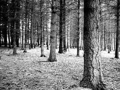 Black And White Trees (_HMC_) Tags: trees light white black tree pine forest germany moss noir bright german lumiere allemagne foret blanc arbe allemand allemande arbes