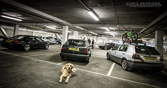 (Chris B 1000D) Tags: road chris shadow dog pet reflection lines canon photography lights golden poser angle fife dundee south parking group wide perspective scottish scene tesco retriever chillin strip pup audi meet tayside monthly ziggy vag dubs svag berridge dubdog