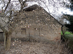 Frhling in Paretz (onnola) Tags: brick wall germany deutschland spring magnolia shrub brandenburg strauch mauer frhling havel backstein magnolie havelland ketzin gehlz paretz