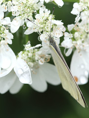Cabbage butterfly of rain (copa.ore) Tags: white flower butterfly dew cabbage     eosm