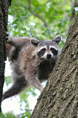 raccoon in the trees in Morningside Park (hshuldman) Tags: new york nyc morning wild urban west eye abandoned nature amsterdam animal cat canon photography rebel drive eyes kitten feline feeding bokeh harlem manhattan side broadway parks harry kitty upper domestic telephoto purr stray meow greater raccoon 75300mm dslr morningside catseye uws feralcat feral felis hiss t3i catseyes telefoto nycparks carnivora procyon lotor felidae nycpark caturday shuldman hshuldman harryshuldman