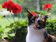 Shelly-Ann Among The Geraniums (Xena*best friend*) Tags: wood wild italy pet cats pets cute animals fur photography chats spring furry woods feline flickr shots tiger kitty kittens whiskers piemonte gato calico shelly purr meow paws miao geranium gatto katzen pussycat markings miau feral wildanimals allrightsreserved ilovespring alleycatallies piedmontitaly canonef70300mm canoneos500d eosrebelt1i shellyannfraserpryce