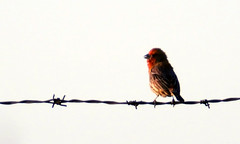 Shoreline_5-19-13_8521 (barbara.vance) Tags: bird finch