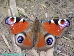 PEACOCK BUTTERFLY (Colin Avison) Tags: water attenborough naturereserve quarry beeston nottinghamshire wildlifetrust