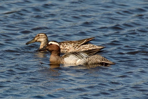 Garganey Pair.