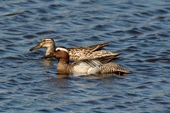 Garganey Pair. (stonefaction) Tags: nature birds scotland duck angus wildlife loch drake kirriemuir rspb garganey kinnordy