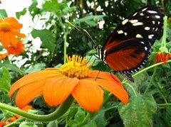 Admiral Butterfly Having a Taste of Nector (TimeTraveller37) Tags: greatbritain flowers trees shadow wild england flower color colour nature floral beautiful beauty gardens butterfly garden shadows autum natural unitedkingdom wildlife butterflies sunny nopeople panasonic gb admiral bushes atmospheric isleofwhite 2010 f33 4mm iso80 admiralbutterfly tz10 dmctz10