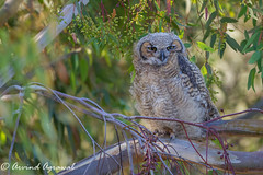 Great Horned Owlet - IMG_6577 (arvind agrawal) Tags: