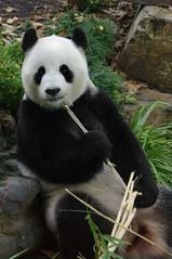 Panda (openyourap) Tags: cute panda bamboo giantpanda funi adelaidezoo ailuropodamelanoleuca melanoleuca ailuropoda