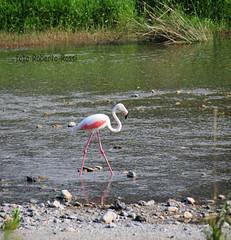 fenicottero sul torrente Quiliano (Cane Billi ) Tags: natura uccelli uccello torrente fenicottero migrazione quiliano zinola mygearandme