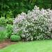 Dwarf Korean Lilac (Syringa meyeri 'Palibin')