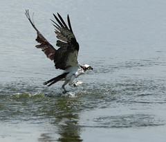 Twofer I (uyht) Tags: nature birds fishing osprey circlebbar