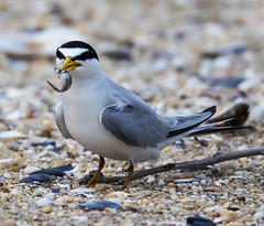 Least Tern with Live Meal Belmar New Jersey (Mike Black photography) Tags: sea summer black bird mike canon lens photography is big babies year birding flight feathers aves shore l usm dslr least seashore tern facebook extender 800mm plovers 2013 1120mm