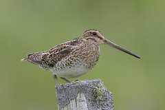 Common Snipe (Dave @ Catchlight Images) Tags: