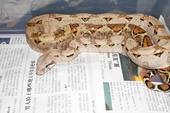 She just shed (fab_rice2) Tags: island reptile snake boa hog constrictor imperator
