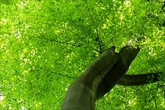 under the tree (loop_oh) Tags: tree green field forest feld grün wald baum gruen linde ramsons wildgarlic bearsgarlic woodgarlic badvilbel bearleek buckrams